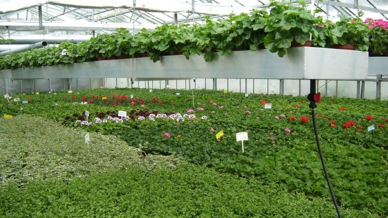 In unserem Betrieb produzieren wir fast alle Topfpflanzen selbst